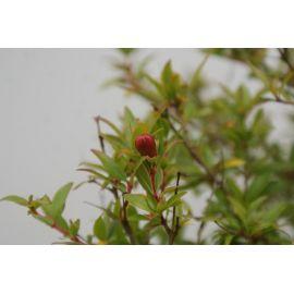 Grenadier Punica granatum nana