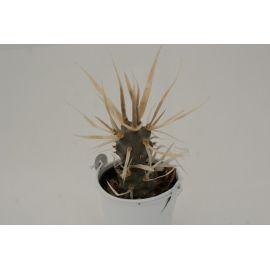 Tephrocactus articulata cv. papyracantha
