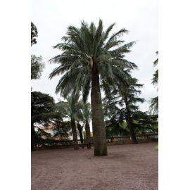 Jubea chilensis
