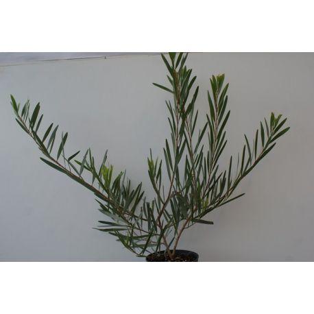 Acacia trinervis