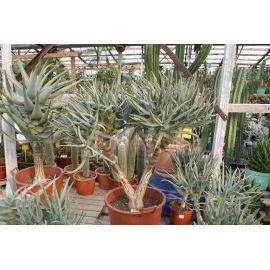 Aloe ramosissima
