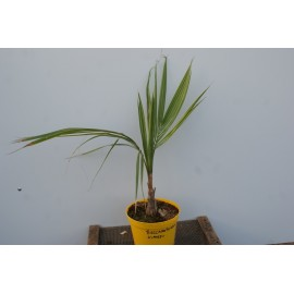 Beccariophoenix alfredi