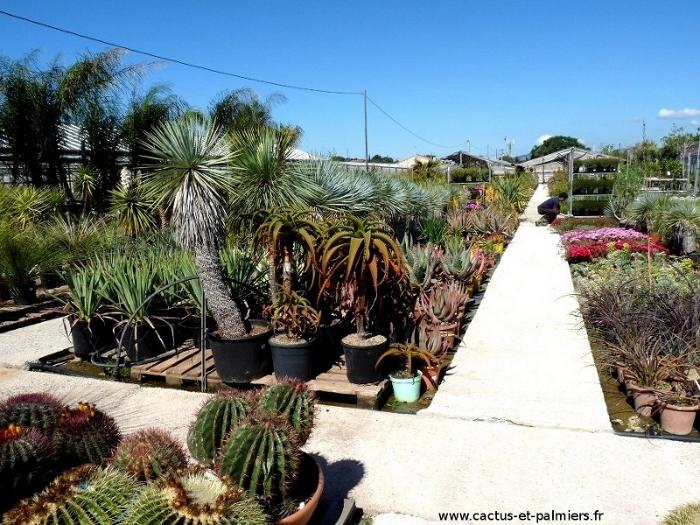 Cactus exterieur vivace for Cactus exterieur resistant au froid