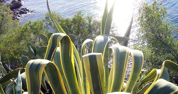 Agaves et aloes for Plante exotique exterieur rustique
