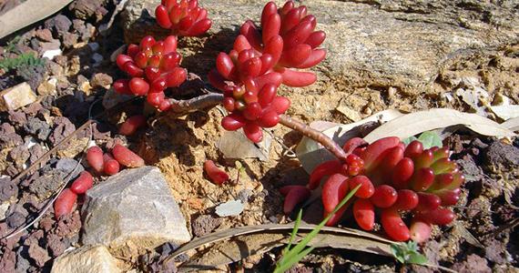 Plantes grasses - Plante grasse rouge ...
