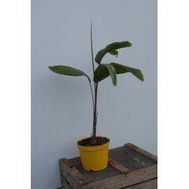 Carpenteria acuminata