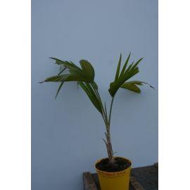 Pritchardia minor