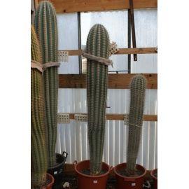 Pachycereus pringley 170 cm