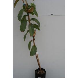 Goyavier Psidium guajava