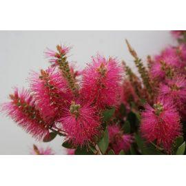 Callistemon laevis bright pink
