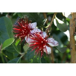Feijoa Acca sellowiana