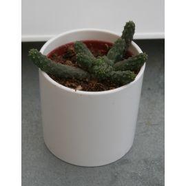 Euphorbia fllanaganii