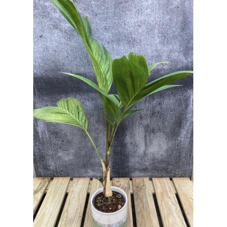 Pinanga khuli