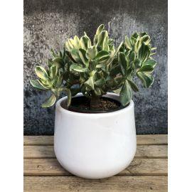 Crassula ovata variegata