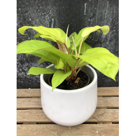 "Philodendron ""Malay gold"""