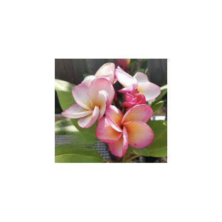 Plumeria rubra 'chompoo phet aka pink'  - Frangipanier