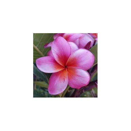 Plumeria rubra 'Chrisitna '  - Frangipanier