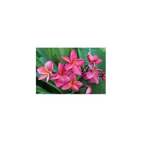 Plumeria rubra 'Crimson beauty'  - Frangipanier
