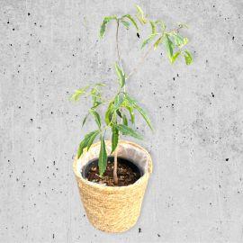 Adansonia madagascariensis