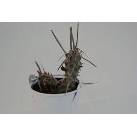 Tephrocactus papyracanthus