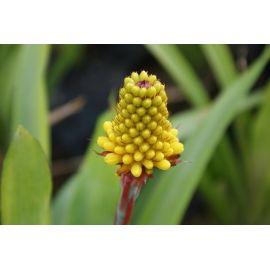Aechmea calyculata