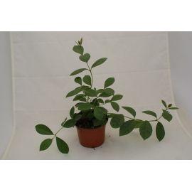 Psidium cattleianum luteum