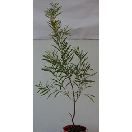 Acacia retinoïdes