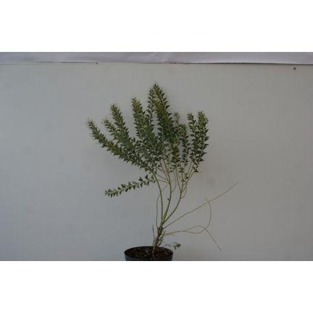Acacia cultiformis