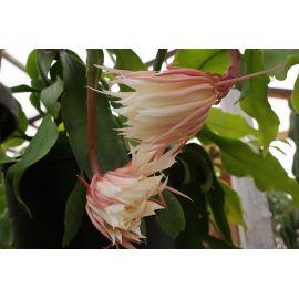 Epiphyllum oxypetalum