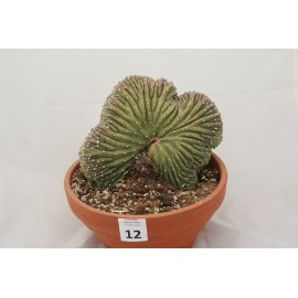 Echinopsis oxygona inermis cristé