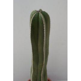 Marginatocereus marginatus 70cm