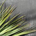 Yucca et dasylirions